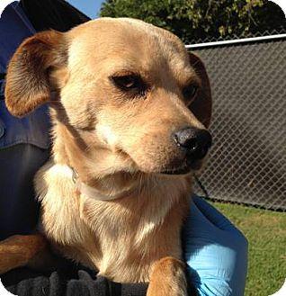 Chihuahua/Golden Retriever Mix Dog for adoption in San Marcos, California - Nicole