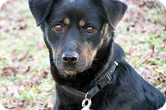 Shepherd (Unknown Type)/Labrador Retriever Mix Dog for adoption in Salem, New Hampshire - MAID MARIAN