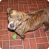 American Staffordshire Terrier/Beagle Mix Dog for adoption in Ravenel, South Carolina - Kate