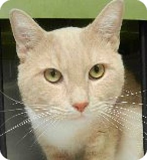 Domestic Shorthair Cat for adoption in Tinton Falls, New Jersey - Milky Way