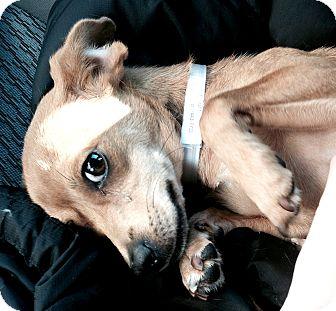 Dachshund/Chihuahua Mix Dog for adoption in Boulder, Colorado - Stella-ADOPTION PENDING