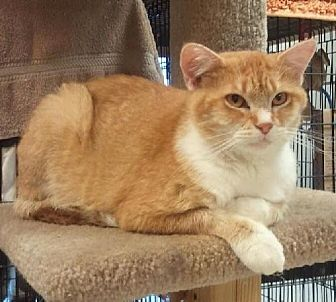 Domestic Shorthair Cat for adoption in Milwaukee, Wisconsin - Pumpkin Pie