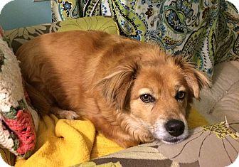 Golden Retriever/Corgi Mix Dog for adoption in Homewood, Alabama - Winnie