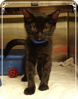 Domestic Shorthair Kitten for adoption in Marietta, Georgia - JACKSON