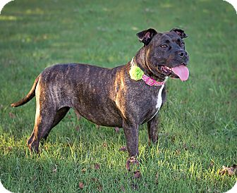 American Staffordshire Terrier Dog for adoption in Clarksville, Tennessee - Brenna - URGENT!