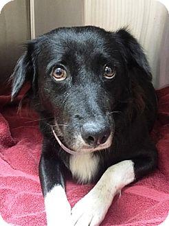 Border Collie Mix Dog for adoption in Miami, Florida - Piper