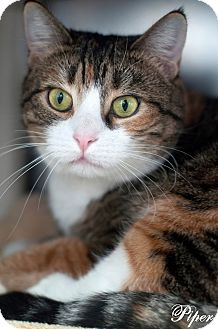 Domestic Shorthair Cat for adoption in Manahawkin, New Jersey - Piper