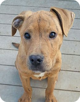 Shepherd (Unknown Type) Mix Puppy for adoption in Pompton Lakes, New Jersey - Apple Jack