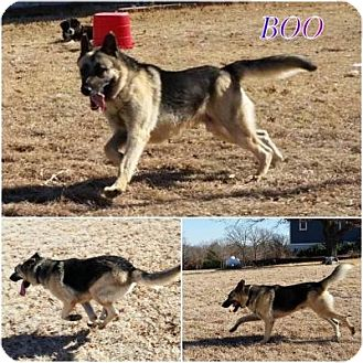 German Shepherd Dog Dog for adoption in Fort Worth, Texas - Boo