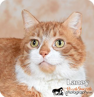 Domestic Shorthair Cat for adoption in Broadway, New Jersey - Landy - Barn Cat