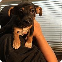Adopt A Pet :: Checkers - North Hollywood, CA