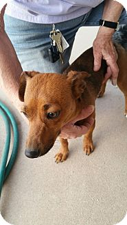 Dachshund Mix Dog for adoption in Tucson, Arizona - Peaches
