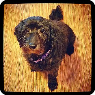 Lhasa Apso Mix Dog for adoption in Grand Bay, Alabama - EmmyLou