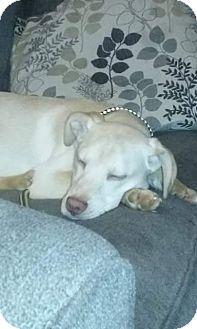 Labrador Retriever/Husky Mix Puppy for adoption in Newport, Michigan - Dobby