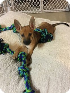German Shepherd Dog/Pharaoh Hound Mix Puppy for adoption in Orland Park, Illinois - LILLY