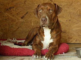 Pit Bull Terrier/Labrador Retriever Mix Dog for adoption in Hankamer, Texas - Lasso