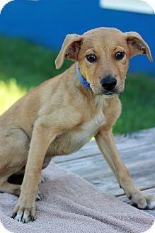Labrador Retriever Mix Puppy for adoption in Waldorf, Maryland - Matt