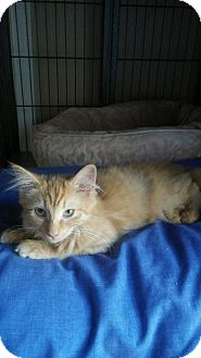 Domestic Mediumhair Kitten for adoption in Trevose, Pennsylvania - Tempest
