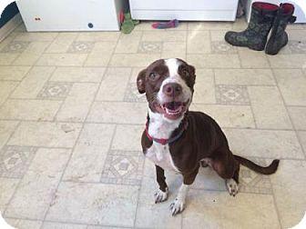 Boston Terrier Mix Dog for adoption in Wichita, Kansas - Martha Washington