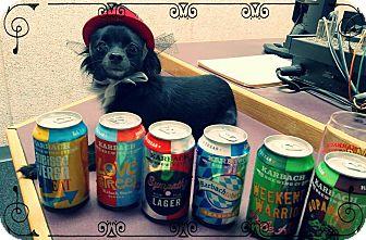 Chihuahua Dog for adoption in El Paso, Texas - Ariana