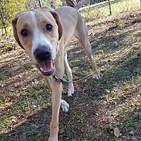 Adopt A Pet :: Bella - Zephyrhills, FL