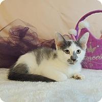 Domestic Shorthair Kitten for adoption in Roanoke, Texas - Nancy