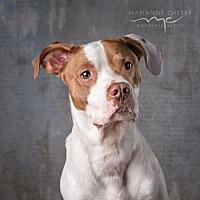 Adopt A Pet :: Lucas - St.Ann, MO