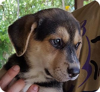 Shepherd (Unknown Type)/Australian Cattle Dog Mix Puppy for adoption in Olympia, Washington - Harper