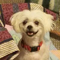 Adopt A Pet :: Pearl - Albuquerque, NM