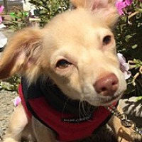 Adopt A Pet :: GOOBER - Elk Grove, CA