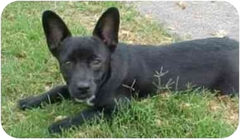 Terrier (Unknown Type, Medium)/Chihuahua Mix Dog for adoption in Berkeley, California - Rico