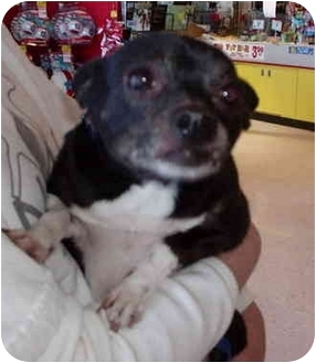 Chihuahua Dog for adoption in Bernardsville, New Jersey - Oreo