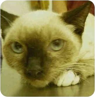 Siamese Kitten for adoption in San Clemente, California - YANG