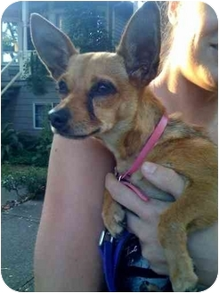 Chihuahua Mix Dog for adoption in Vancouver, British Columbia - Bella - Pending