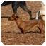 Photo 2 - Dachshund Dog for adoption in Ft. Myers, Florida - Eloise