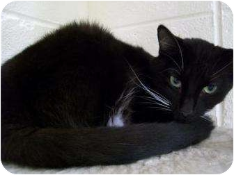 Domestic Shorthair Kitten for adoption in Munster, Indiana - Sox