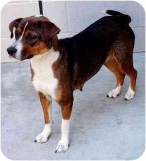 Beagle/Pointer Mix Dog for adoption in Los Angeles, California - Heidi