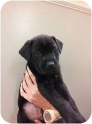 Labrador Retriever Mix Puppy for adoption in Orland Park, Illinois - Cole