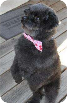 Poodle (Miniature) Dog for adoption in Austin, Texas - Timmy