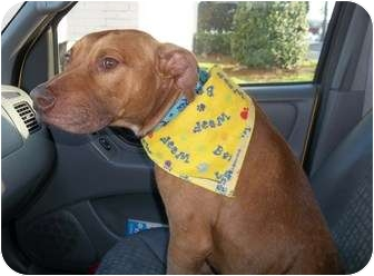 Pit Bull Terrier Dog for adoption in Macon, Georgia - Courage