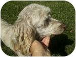 Poodle (Miniature)/Havanese Mix Dog for adoption in Simi Valley, California - Sassafras