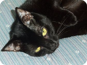 Domestic Shorthair Cat for adoption in Grasonville, Maryland - Molly