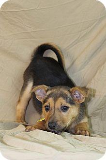 Australian Shepherd/Labrador Retriever Mix Puppy for adoption in Westminster, Colorado - Gamble