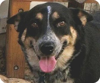 Australian Cattle Dog/Australian Shepherd Mix Dog for adoption in Austin, Texas - Brandi