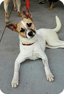 Fox Terrier (Smooth)/Terrier (Unknown Type, Medium) Mix Dog for adoption in Baton Rouge, Louisiana - Daisy