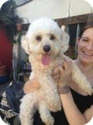 Poodle (Miniature)/Bichon Frise Mix Dog for adoption in Encino, California - Magdalena