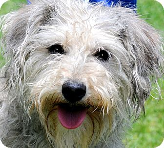 "Poodle (Toy or Tea Cup)/Schnauzer (Miniature) Mix Dog for adoption in Wakefield, Rhode Island - MARCIE(OUR ""SNOODLE""!!AWWWW"