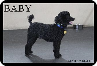 Miniature Poodle Dog for adoption in Rockwall, Texas - Baby