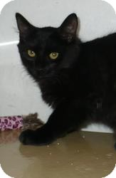 Domestic Shorthair Kitten for adoption in Pueblo West, Colorado - Batman