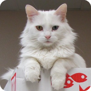 Domestic Longhair Cat for adoption in Gilbert, Arizona - Momo
